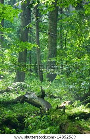 Old natural forest at dawn just rain after with dead tree lying in foreground - stock photo