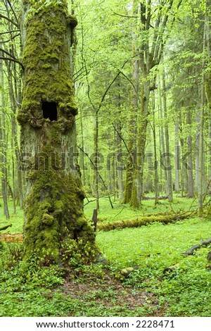 Old natural forest in the spring ,Bialowieza Forest,Europe - stock photo
