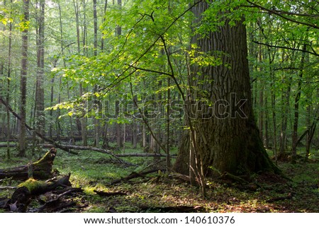 Old oak and hornbeam tree side by side in soft morning light - stock photo