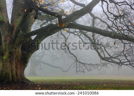Old oak in fog. The massive oak tree in the park in a foggy day. - stock photo