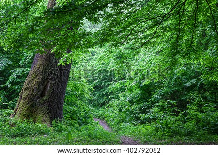 Old oak tree and the footpath in the drops of rain in the spring green forest. - stock photo