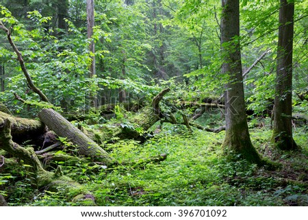 Old oak tree broken lying and old natural deciduous stand of Bialowieza Forest in background,Bialowieza Forest,Poland,Europe - stock photo