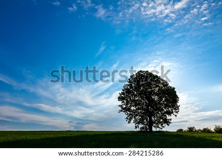Old oak tree in a field of agricultural green crop under spring blue sky with back lit - stock photo