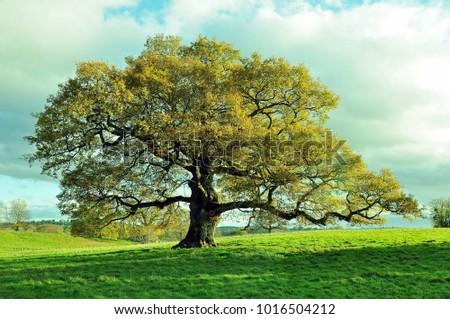 Old oak tree in a meadow.