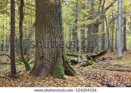 Old oak tree in autumnal landscape of deciduous stand, Bialowieza Forest, Poland, Europe