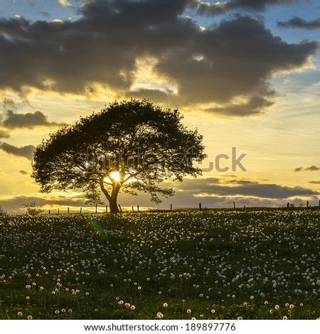 Old oak tree on dandelion meadow on sunset with cloudy Sky in spring - stock photo