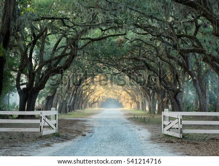 Old oak trees line a gravel road in Savannah, Georgia