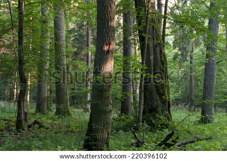 Old oaks in summer misty deciduous stand of Bialowieza Forest with old linden tree in foreground - stock photo
