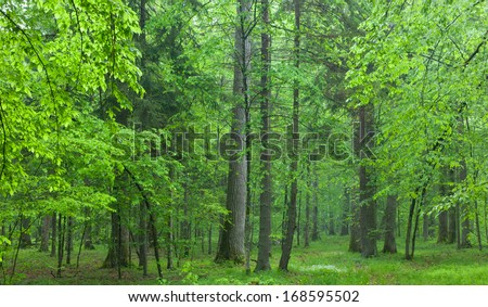 Old oaks in summer misty deciduous stand of Biaowieza Forest - stock photo