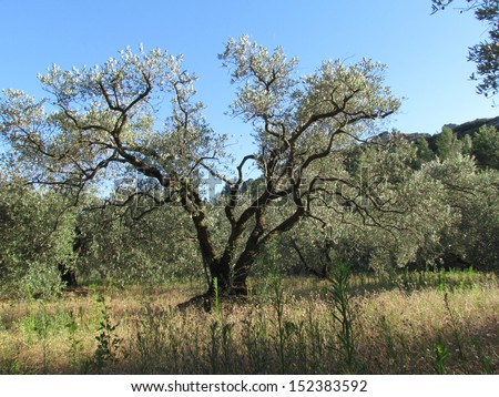"""Old Olive groves in Provence Southern France. The olive tree,"""" Olea europaea"""", is an evergreen tree or shrub native to the Mediterranean, Asia and Africa - stock photo"""