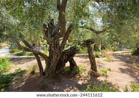 Old olive trees in the garden of Gethsemane on the mount of olives in Jerusalem - stock photo