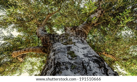 old olive treetop - stock photo