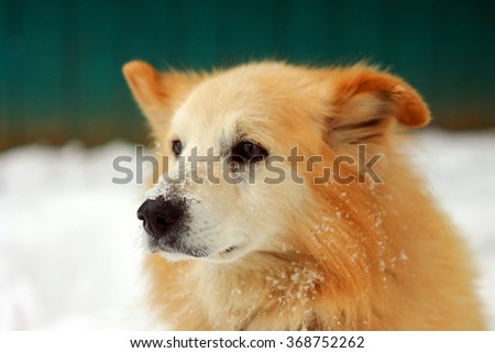 Old orange hair husky dog at the winter snow yard background