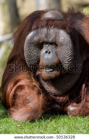 Old orangutan - stock photo