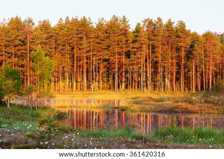 Old pine forest by the lake in sunset - stock photo