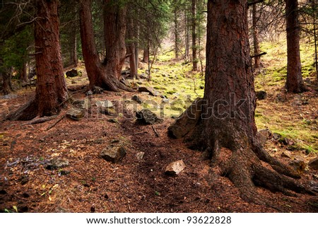 Old pine forest in mountain