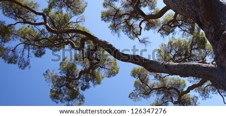 old pine tree and blue sky panorama - stock photo