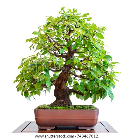 Old quince (Pseudocydonia sinensis) as bonsai tree with foliage