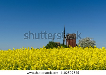 Old red wooden windmills by a blossom rapeseed field at the swedish island Oland