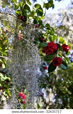 Old rose bushes covered in spanish moss - stock photo