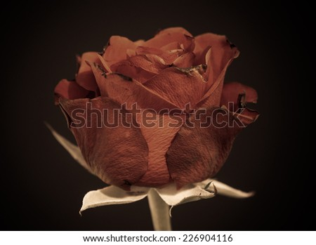 Old rose. Dying and death symbol. Black background. - stock photo
