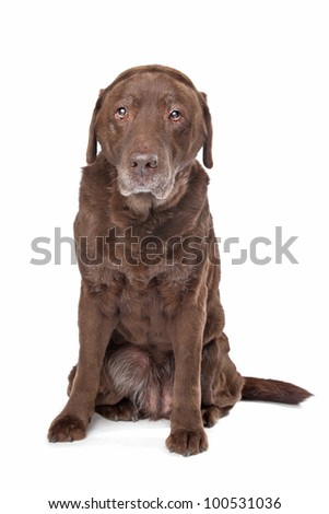 Old sad chocolate Labrador in front of a white background