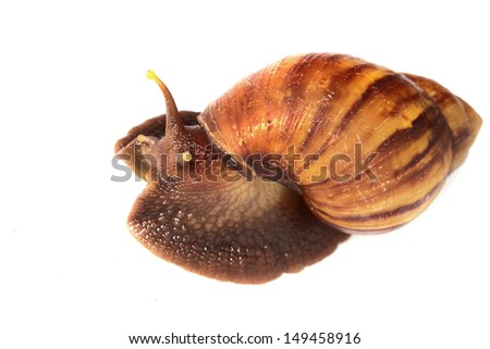 old snail macro on head crawling on white isolated background