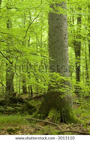 Old spruce in summer forest,europe,poland,bialowieza forest - stock photo