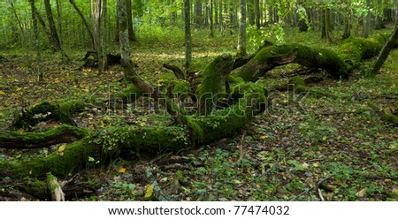 Old stand of Bialowieza Forest with rest of decline oak in foreground moss wrapped in morning - stock photo