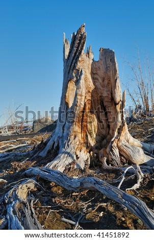 old stump - stock photo