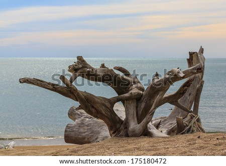 Old stumps Interesting on beaches - stock photo