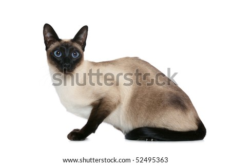 Old style Siamese - stock photo