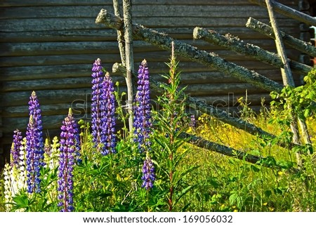 Old Swedish timber barn with wooden fence and lupine flowers in summer.