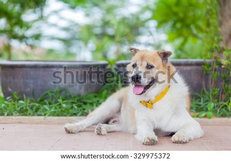 old Thai dog sitting with nature soft background - stock photo