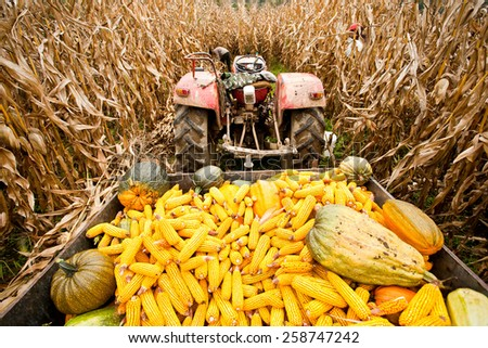 Old tractor with trailer full of corn cobs in a corn field - stock photo