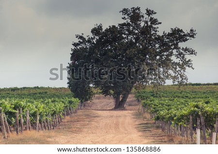 Old tree in the middle of wine row in a vinery ion stellenbosch,south africa - stock photo