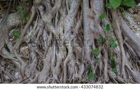 Old tree  roots closeup. Miami, USA, Florida, Key Biscayne. USA  - stock photo