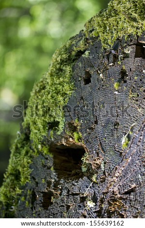 Old tree stump covered with moss. Environment.