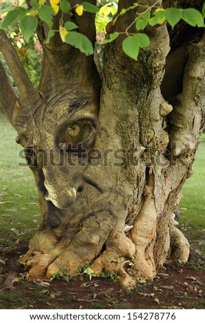 Old Tree with ancient face in.