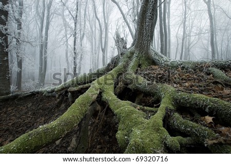 old tree with big roots on a cold november morning with fog in the background - stock photo