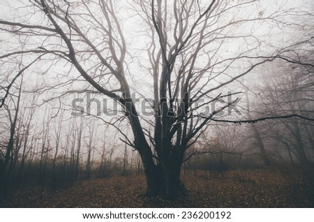 old tree with twisted branches spread in the forest - stock photo