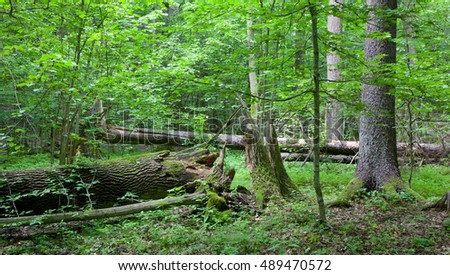 Old trees of natural stand in summer with broken oak tree in foreground, Bialowieza Forest, Poland, Europe