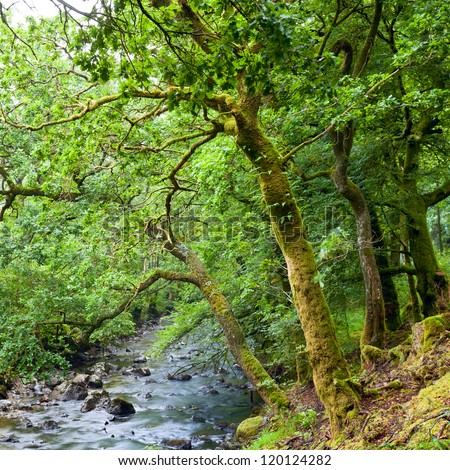 Old trees with lichen and moss along small river in Scottish forest - stock photo