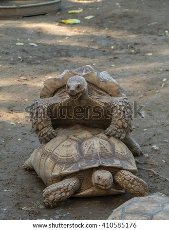 Old turtles mating on the ground - stock photo