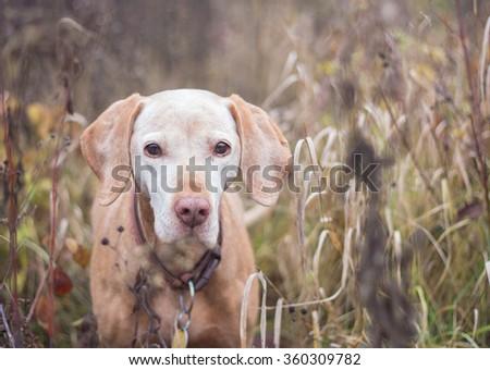 old vizsla dog portrait - stock photo