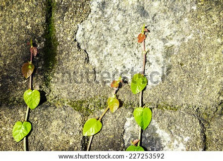 Old wall with ivy plant at the park in Saigon, Vietnam. ( abstract background) - stock photo