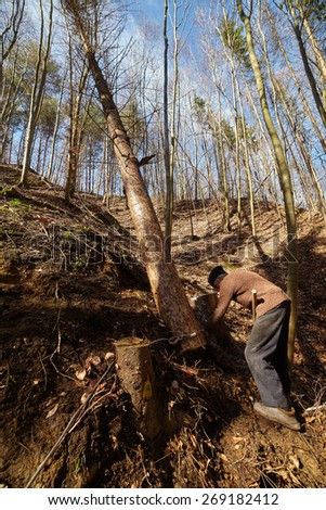 Old woodcutter trying to take down a sawn tree with an anchor winch and man power - stock photo