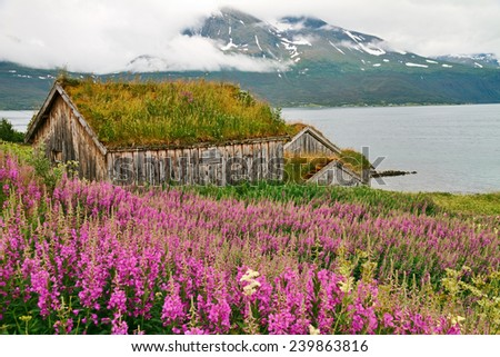 Old wooden house with grass roof surrounded by Fire weed, Norway. - stock photo