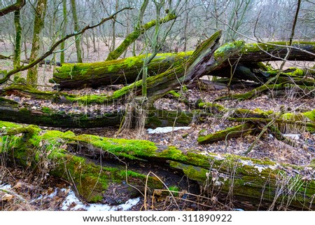 old wooden tree with green moss in forest - stock photo