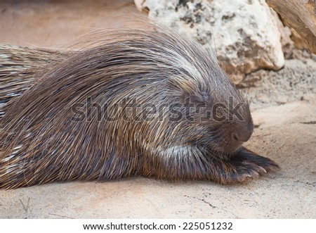 Old World porcupine in national park. Hystricidae. - stock photo